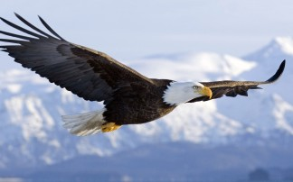 bald-eagle-wallpapers-flight
